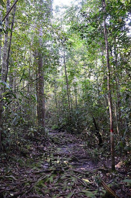 Dschungelpfad3 Bako Nationalpark