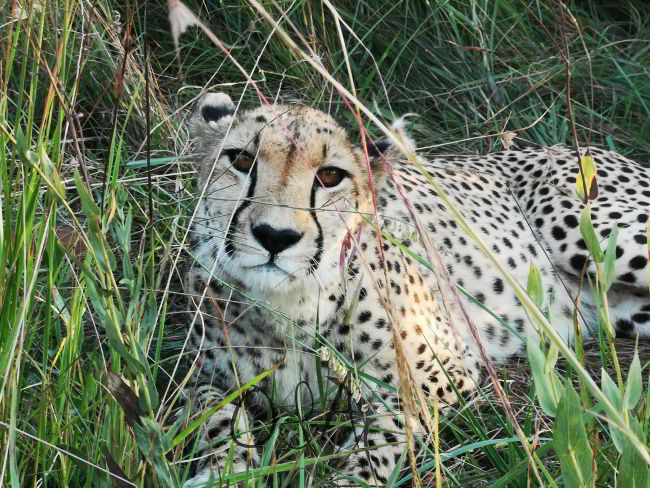 Gepard im Gras bei Gepardenprojekt