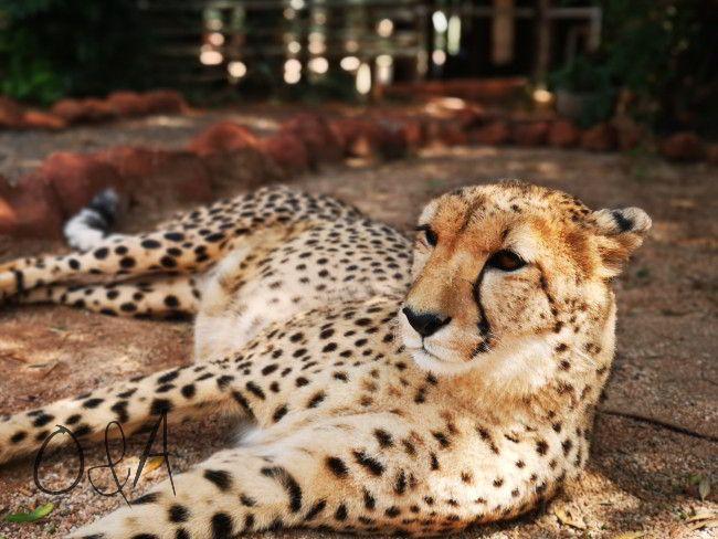 Gepard in der Nähe des Hauses - als Volunteer des Gepardenprojektes - Erfahrungsbericht und Infos