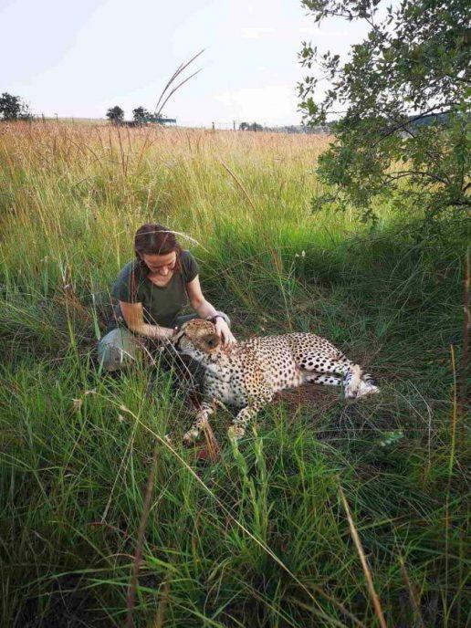 Volunteer bei Gepard in weitläufigem Gehege