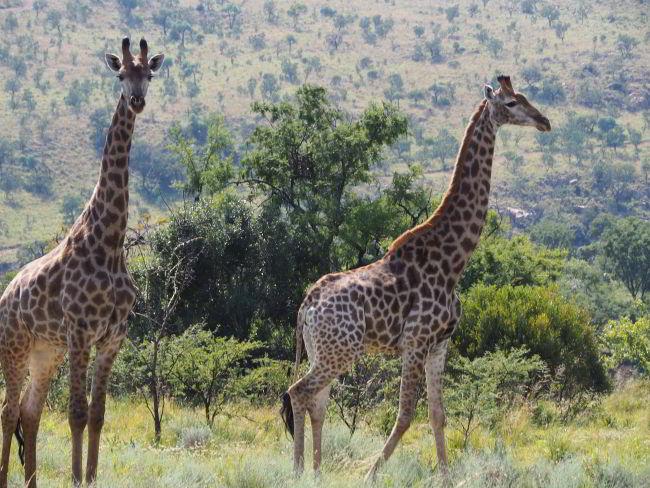 Giraffen auf der Farm des Gepardenprojektes