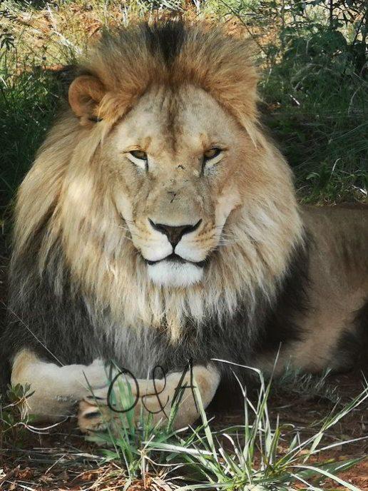 Löwe im Schatten des weitläufigen Geländes der Farm