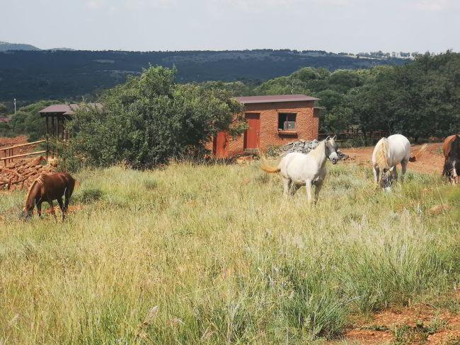 Pferde auf der Koppel beim Gepardenprojekt - Erfahrungsbericht unf Infos