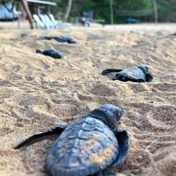 Schildkröten am Duli Beach