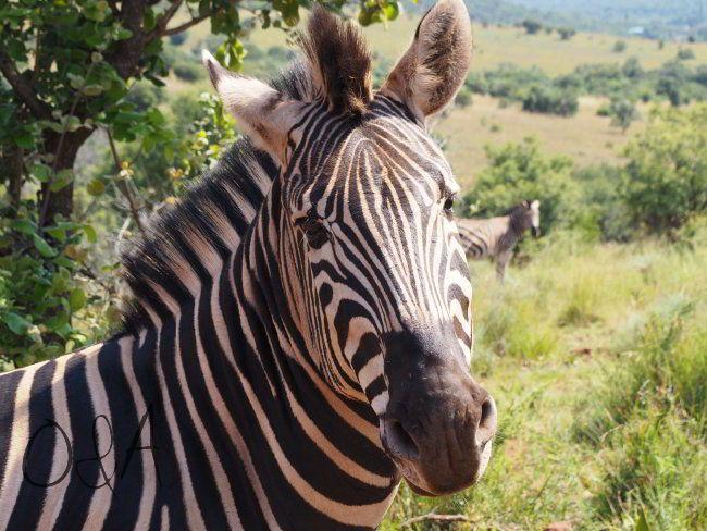 Zebras auf der Farm des Gepardenprojektes